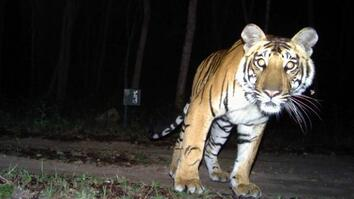 "Camera Traps ""Capture"" Elusive Tigers"