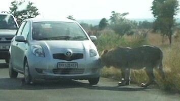Lion Learns the Hard Way Not to Hunt Cars