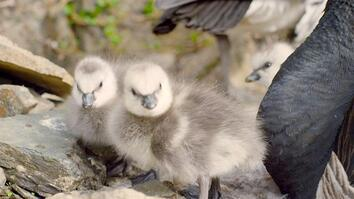 These Arctic geese chicks must jump hundreds of feet in order to survive