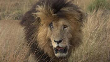 Meet the Lion Named 'Scarface' and His Lethal Pride