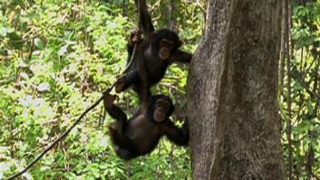 Spear-Wielding Chimps Studied