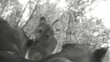 Crittercam POV: Lion Cubs & Mom