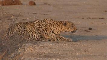 See How a Leopard Stealthily Stalks Its Prey