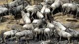 How 2 Million Pounds of Wildebeest Carcasses Help the Serengeti