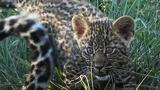 How Does a Baby Leopard Get Its Spots? An Expert Explains