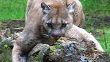 Washington Cougar