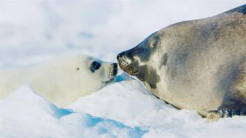 For harp seal pups, survival depends on its first ten days