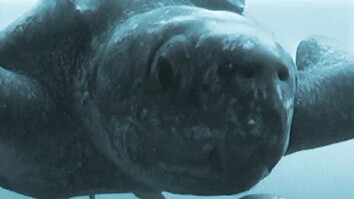 Crittercam POV: Underwater Turtle Mating
