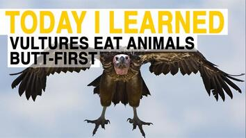 TIL: Vultures Have to Eat Animals Butt-First
