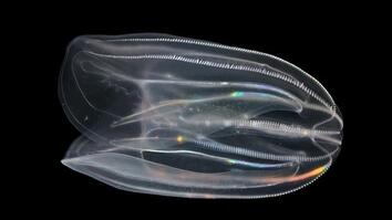 What are Comb Jellies and Why is Their Poop Important?