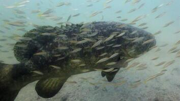 Some Say This Goliath Fish, Once Overfished, Is Now a Nuisance