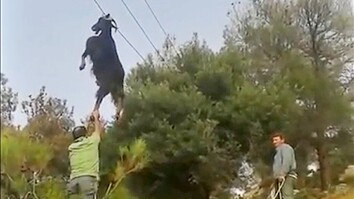 Bizarre Rescue: How Do Goats Get Stuck in Odd Places?