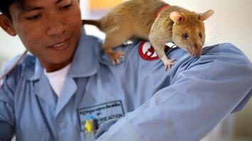These Huge Rats Can Sniff Out Land Mines