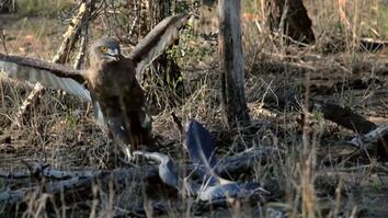 Hungry Eagle vs. Venomous Cobra