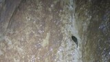 Catfish Climbs a Cave Wall