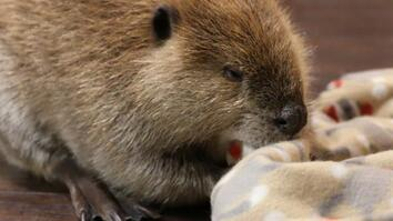 Rescued Animals Justin Beaver and Arnie the Armadillo Have a New Mission