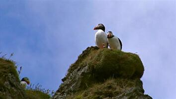 Iceland Puffin Threatened