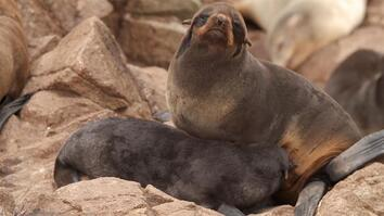 EXCLUSIVE:Fur Seals Are Back From the Brink on California Islands