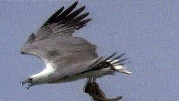 White-Bellied Sea Eagle Hunts
