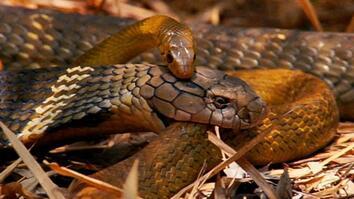World's Deadliest: King Cobra
