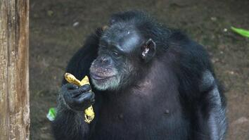 Inside a Retirement Home for Lab Chimps
