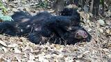 Sloth Bear Cub Rescued After Mother Electrocuted