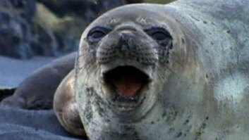 Animal Mothers: Elephant Seal Birth