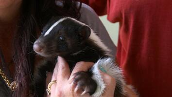 Dr. K's Exotic Animal ER: Sidelined Skunk
