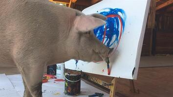 Can Animals Be Creative? Pigcasso the Painting Pig is Making Her Case