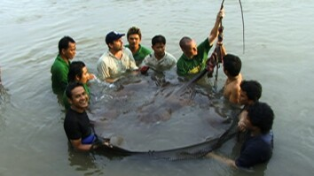Giant River Stingrays Found