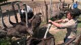 Wrestling an Ostrich