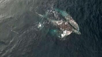 Rare Video: Whales Engage in Three-Way Mating Ritual