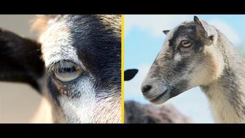 How Do Rectangular Pupils Help Goats Survive?