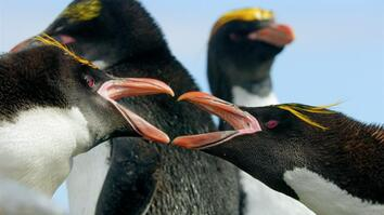 Behind the Shot: Keeping up with Macaroni penguins