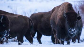 Is It OK to Kill America's Wild Bison?