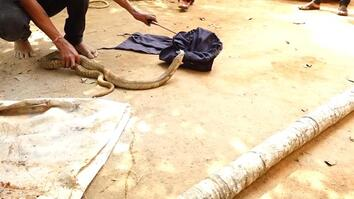 Snake Catcher Risks Life to Rescue Cobra From Well