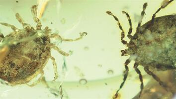 Watch: Ticks That Fed on Dinosaurs Found Trapped in Amber