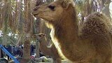 Tunisian Camels