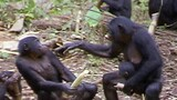 Right-Handed Chimps Provide Clues