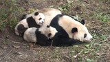 "Pandas ""in Love"" Are More Likely to Have Cubs"