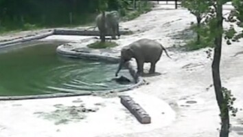 Watch: Elephants Rescue Their Baby From a Pool