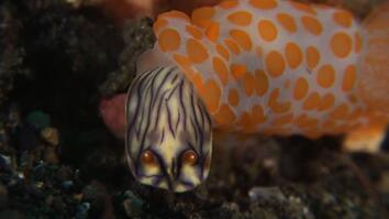 This Sea Slug Eats Its Own Kind