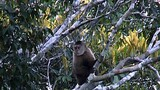 Wedge-capped Capuchin