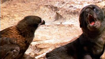 Johnny Rooks Stalk Fur Seal Pup