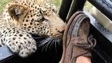 Wild Leopard Plays With a Tourist's Foot