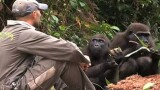 Orphaned Gorillas Sent to Island