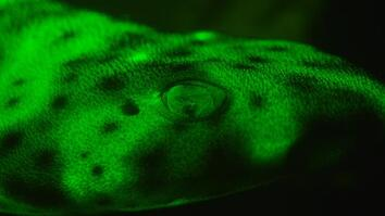 """EXCLUSIVE: How """"Glowing"""" Sharks See Each Other"""