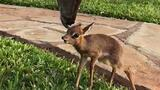 Tiny Rescued Antelope Makes an Unlikely Friend