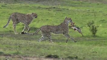 See What Happens When Two Cheetahs Try to Steal Mom's Breakfast