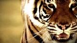 Cause an Uproar - Tigers